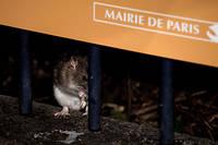 Un rat près de la rue de Rivoli à Paris. En bord de Seine, les rongeurs prolifèrent en raison des caprices du fleuve.