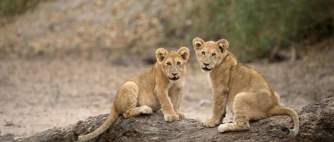 Le lion de Tanzanie, peu adepte de la vie de nuit, est passé d'une activité nocturne de 17% en temps normal à une de 90% en présence de l'homme.