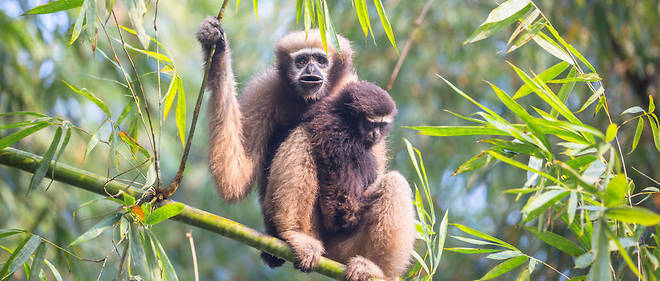 Deux gibbons hoolock occidental, primates asiatiques de la famille des hylobatidés. Photo d'illustration.
