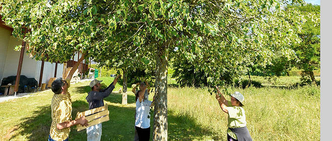 Les employés du domaine entament la récolte des fleurs de tilleul.