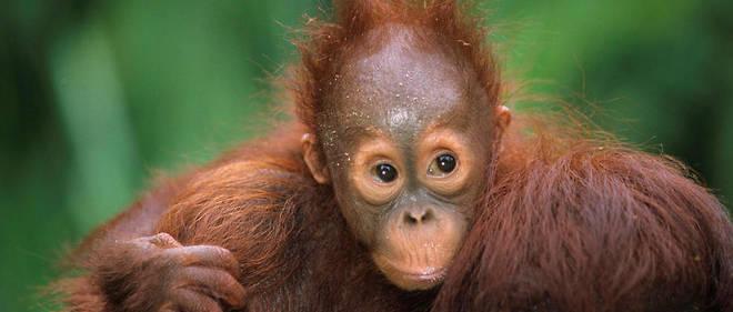 a3b53f2647c3c La dernière naissance d'orang-outan à la ménagerie du Jardin des Plantes  remontait
