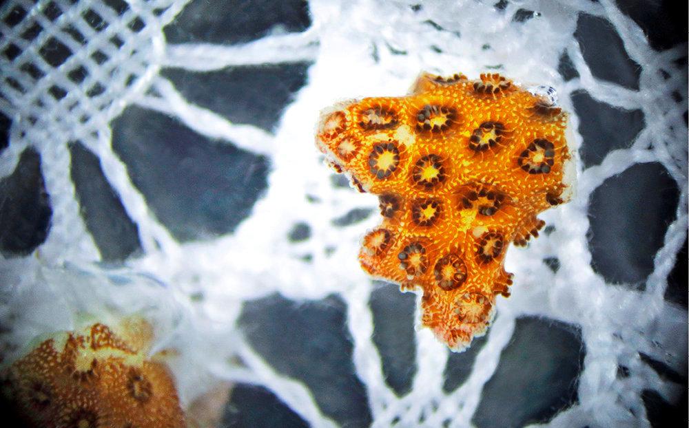 Tuteur. Le corail se fixe sur la dentelle le temps de se développer.