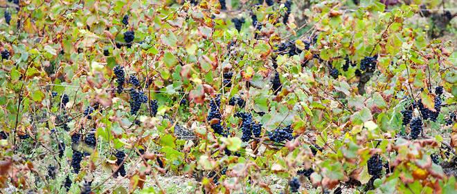 Le carburant à base de marc de raisin ne coûte que 0,85 euro le litre.
