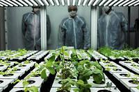 Des légumes expérimentaux couvés par des scientifiques sur le campus de l'Insa à Villeurbanne.  ©JEFF PACHOUD / AFP