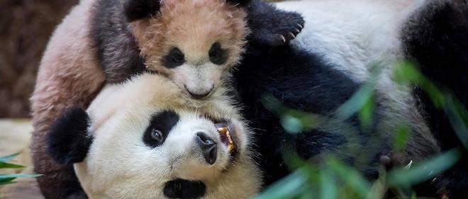 Le bébé panda né au zoo de Beauval en 2017 est l'une des principales attractions du site.