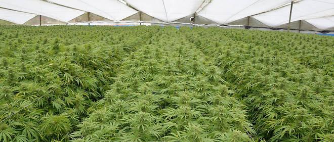 La Colombie a légalisé la production de cannabis thérapeutique en mai 2016.