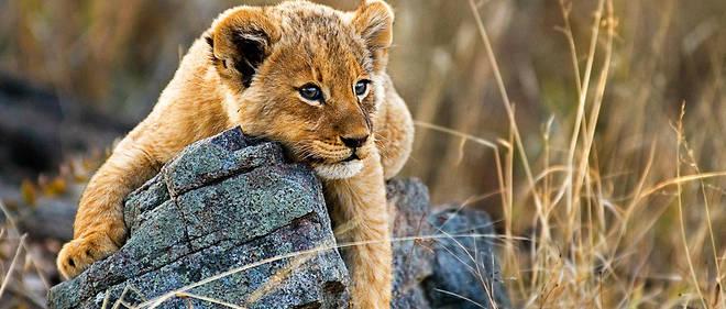 Un bébé lion paresse dans la réserve de Sabi Sands, au cœur du parc Kruger, en Afrique du Sud.