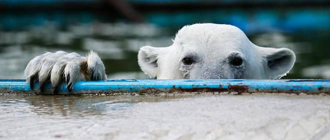 Les ours polaires se nourrissaient dans les poubelles et ont essayé de rentrer dans des maisons. Photo d'illustration.