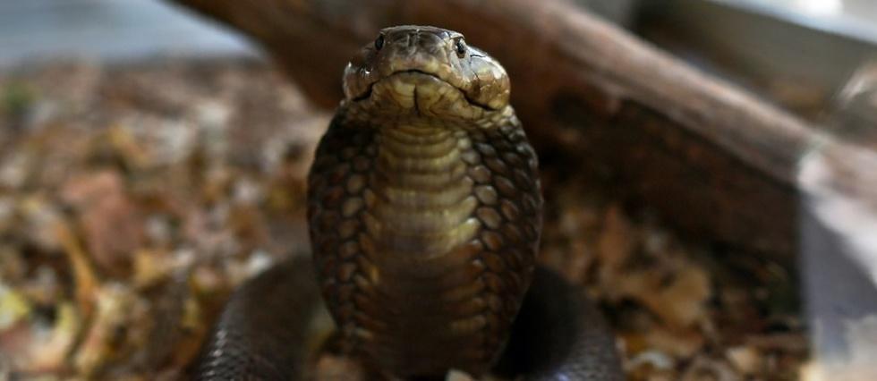 Morsures De Serpents Un Poison Toujours Aussi Meurtrier Le Point