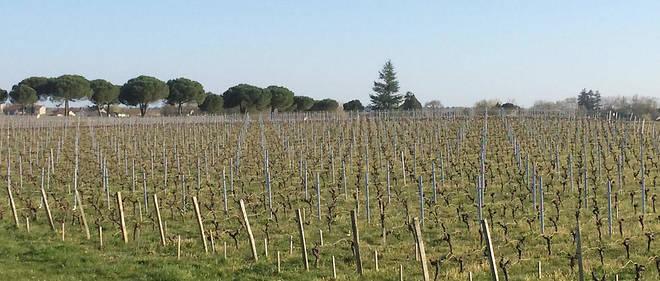 Paysgage de vigne, Listrac-Médoc.