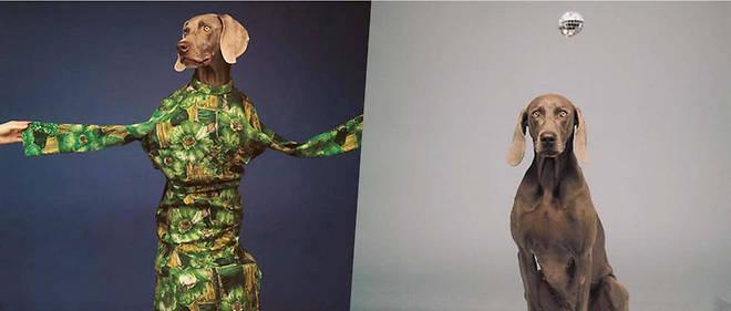 Le chien Fay Ray, modèle du photographe américain William Wegman de 1986 à 1995. À g., « Three Legged Dance » (1988) ; à dr., « Hypno » (1988).