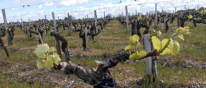 Vignes de Château Cissac, Haut-Médoc