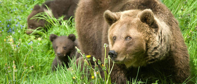 En comptant Sorita, 40 ours bruns ont été décomptés en 2018 dans les Pyrénées. Photo d'illustration.