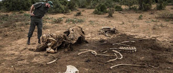 Les élephants sont victimes du braconnage. (Photo d'illustration)