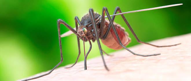 Les résultats ont prouvé que le champignon OGM pouvait tuer plus rapidement les moustiques en libérant la toxine une fois qu'ils l'avaient ingéré.
