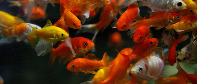 L'un des bassins des poissons rouges de l'Aquarium de Paris.