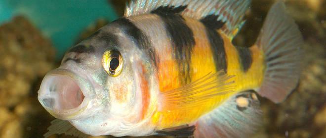 Le cichlidé zébré est aussi un poisson qui protège particulièrement son territoire.