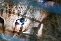 <p>16 chats-renards ont été identifiés dans la vallée d'Asco en Haute-Corse.</p>