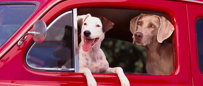 Les muscles des sourcils seraient bien présents chez les chiens, et non chez les loups, rapportent les scientifiques. Image d'illustration.