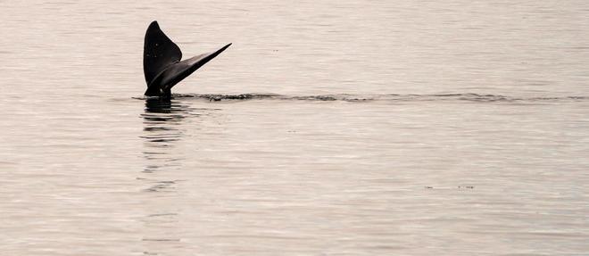 L'animal visiblement amoindri physiquement a pu repartir dans les eaux profondes.