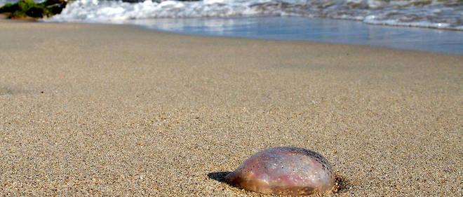 Une méduse sur la plage d'Ajaccio.
