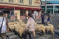 <p>Pendant sa transhumance de douze jours, le troupeau de moutons va arpenter les rues de 35 villes du Grand Paris.</p>