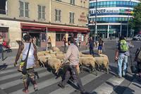 Pendant sa transhumance de douze jours, le troupeau de moutons va arpenter les rues de 35 villes du Grand Paris.