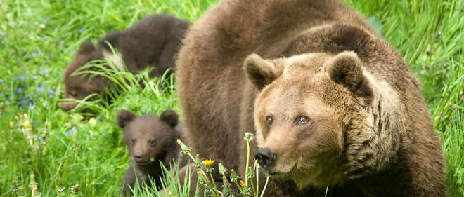 Deux ourses femelles ont été réintroduites (photo d'illustration).