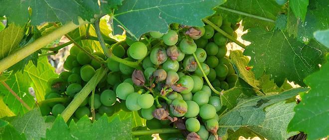 La grêle cause des dégâts dans le vignoble du Var
