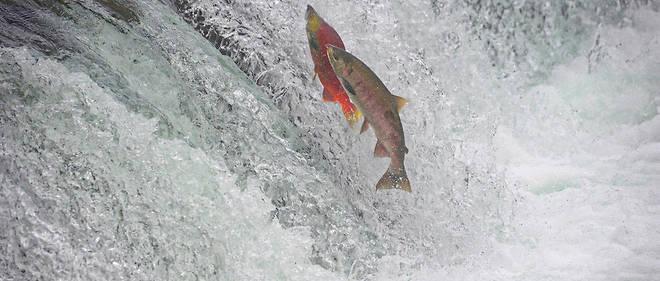Le 7 juillet dernier, une température de27,6 °C a été enregistrée dans les eaux d'un important courant de saumons dans le golfe de Cook.