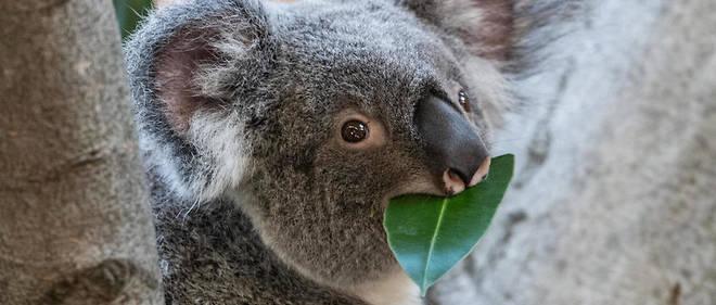 Les koalas ont du mal à s'adapter à de nouveaux régimes alimentaires.