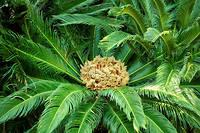 Les botanistes ont tout mis en œuvre pour que cette plante tropicale originaire du Japon sorte de terre sous nos latitudes.