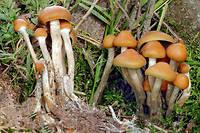 Le centre vise à mesurer les effets thérapeutiques possibles du LSD, mais aussi de la psilocybine, une molécule présente dans certains champignons hallucinogènes.