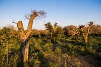 La Xylella fastidiosa n'avait jamais ete detectee sur des oliviers en France.