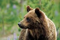 La population de grizzlis en Amérique du Nord est estimée entre 30 000 et 45 000 individus.