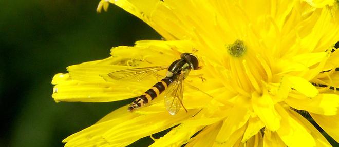 Syrphide. L'association de defense de l'environnement Arthropologia a organise du 25 au 27 septembre a Lyon les assises nationales des insectes pollinisateurs.