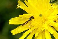 Syrphide.L'association de défense de l'environnement Arthropologia a organisé du 25 au 27 septembre à Lyon les assises nationales des insectes pollinisateurs.
