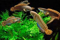 Des tetes-de-serpent, un poisson qui peut... respirer hors de l'eau