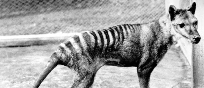 Le dernier thylacine serait mort en 1936 en captivité.