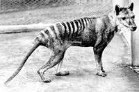 Le dernier thylacine serait mort en 1936 en captivite.