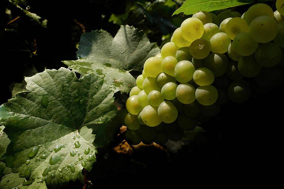 <p><strong>Chardonnay.</strong> Cépage de prédilection de la Côte des Blancs, il est l'un des trois cépages les plus utilisés dans l'élaboration du champagne, avec le pinot noir et le meunier.</p>