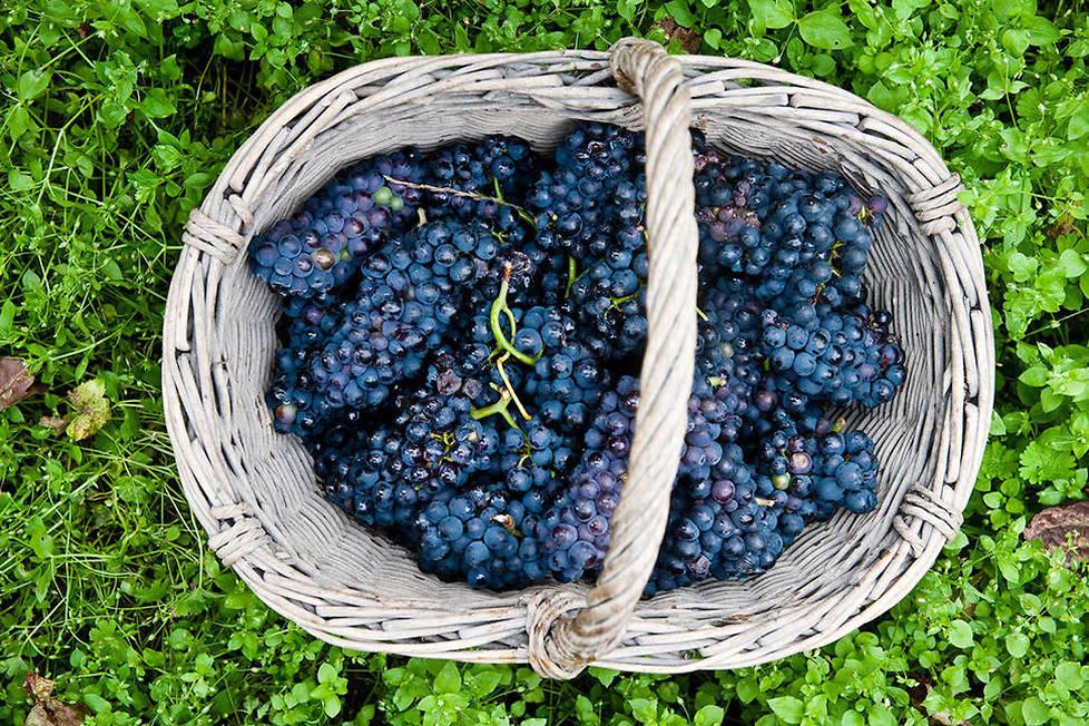 <p><strong>Pinot noir.</strong> Le cépage dominant de la Montagne de Reims et de la Côte des Bar. Les champagnes riches en pinot noir ont une couleur or jaune avec des arômes de cassis, de quetsche, de cerise et de poivre.</p>