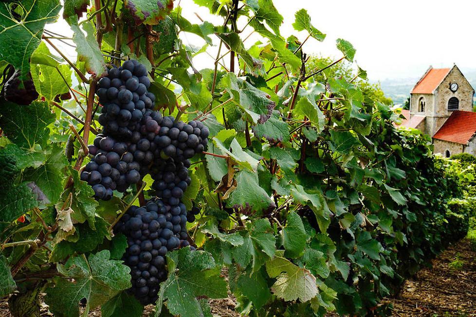 <p><strong>Pinot meunier.</strong> Caractéristique de la Vallée de la Marne, il est le 2e cépage le plus planté derrière le pinot noir et devant le chardonnay. On appelle Blanc de Noirs un champagne qui assemble uniquement les raisins noirs du pinot noir et/ou du meunier.</p>