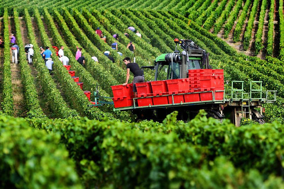 <p><strong>Vendanges.</strong> La réglementation de l'appellation «champagne» exige le pressurage de raisins entiers, ce qui impose de vendanger à la main. Les vendanges débutent à la fin de l'été et se déroulent sur une période d'environ 3 semaines en employant près de 120000 travailleurs saisonniers.</p>
