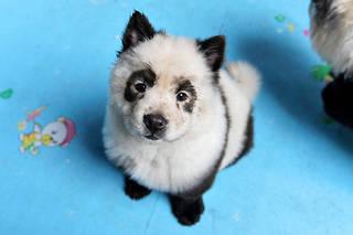 Le pelage des chiens est teint pour donner l'illusion qu'il s'agit de bébés pandas.