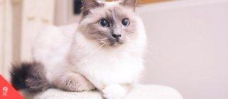 La domestication des chats et leur élevage sélectif étant assez récents, de nombreuses races sont encore génétiquement proches de leurs ancêtres sauvages.