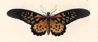 Au XXIe siècle, Papilio antimachus, plus grand papillon d'Afrique, recèle encore des mystères.