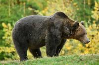 L'ours avait été amené de façon volontaire par son propriétaire au refuge La Tanière (image d'illustration).