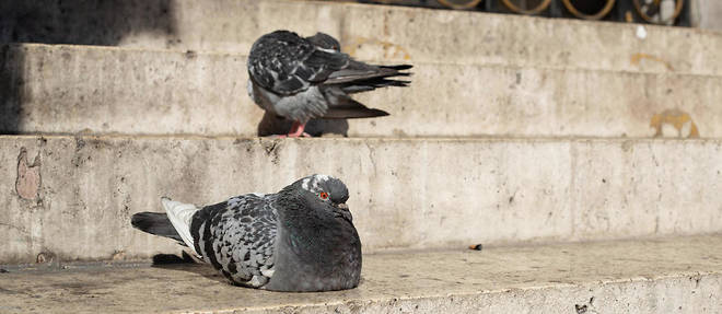 Entre coiffeurs et pollution, Paris n'est pas toujours une ville hospitaliere pour les pigeons (illustration).