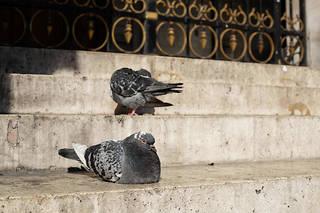 Entre coiffeurs et pollution, Paris n'est pas toujours une ville hospitalière pour les pigeons (illustration).